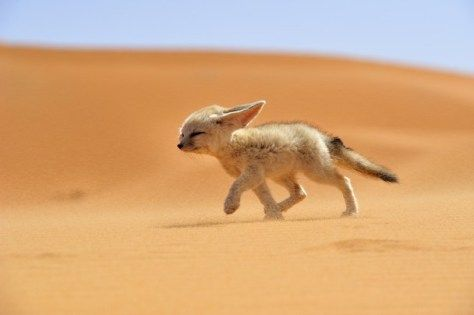 The fennec, or desert fox, is a canine mammal species of the genus Vulpes, which inhabits the Sahara Desert and Arabia. This is the smallest species of the family Canidae.  Photo credit: Francisco Mingorance
