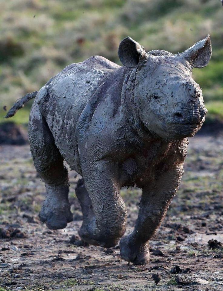 Детеныш носорога впервые порезвился в грязи « FotoRelax