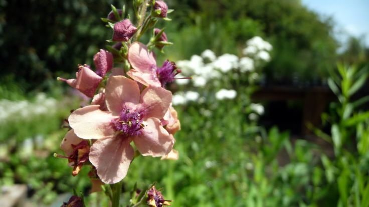 Verbascum phoeniceum 'Southern Charm'