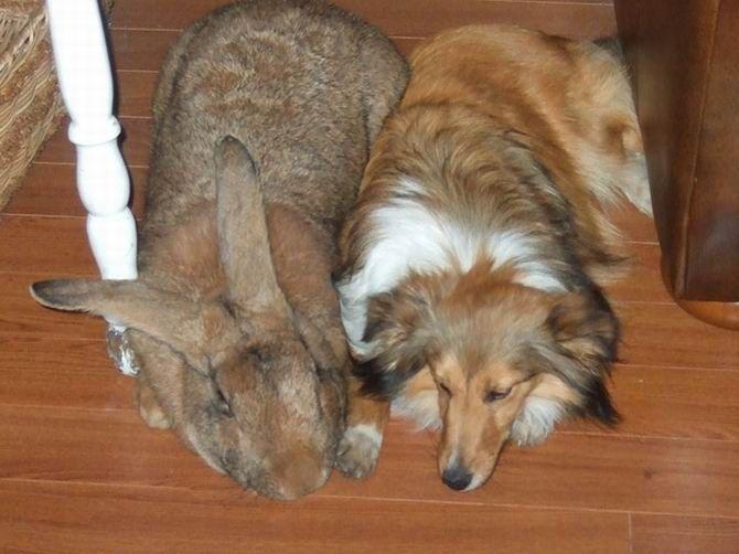 7. Un lapin des flandres plus gros qu'un chien et des étoiles de mer de 60 cm