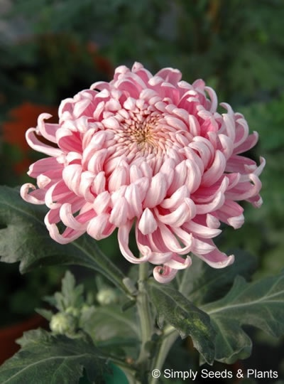 Chrysanthemum Pink Allouise: One of the best known of all bloom chrysanths. Good in the vase and for exhibition.