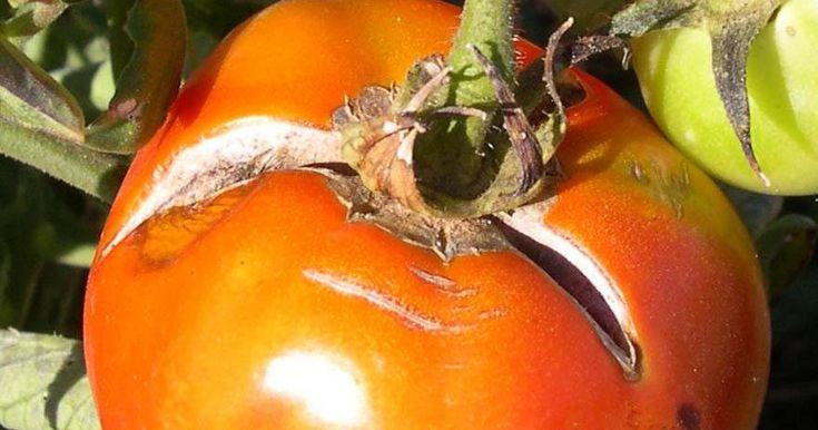 ¿Algunos de tus tomates se rajan y agrietan? ¡Descubre la solución!