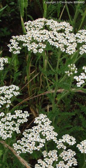 Utilisation de l'achillée millefeuille (Achillea millefolium) en naturopathie.