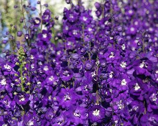 Types of Purple Flowers | Purple Delphinium Flower Garden