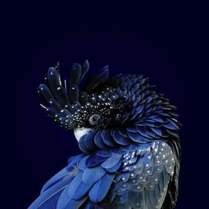 "chasingrainbowsforever: "" Fibonacci Cockatoo By Debi Dalio """