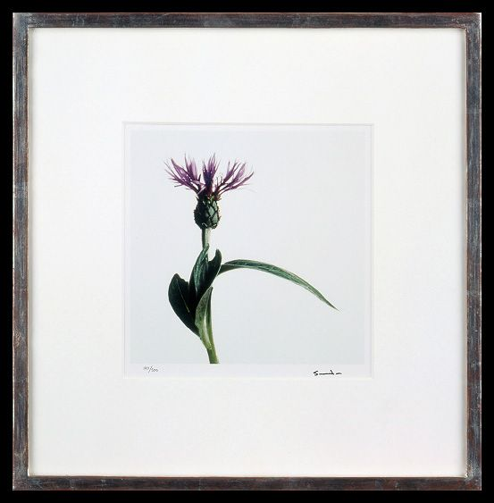Lord Snowdon | Mountain Knapweed | Limited Edition Photograph, part of a set of 8 | 10 x 8 inches | £1,450 (for the set, unframed)  These photographs come as a portfolio; there are eight photographs in the set. Each image has been signed by Lord Snowdon.