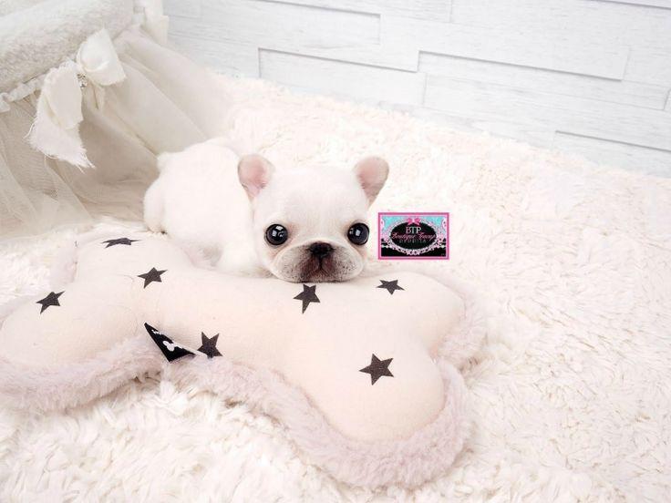 Adorable Amazing Lil Elsa ~ Micro Mini French Bulldog White and So beautiful! VIP QUALITY!