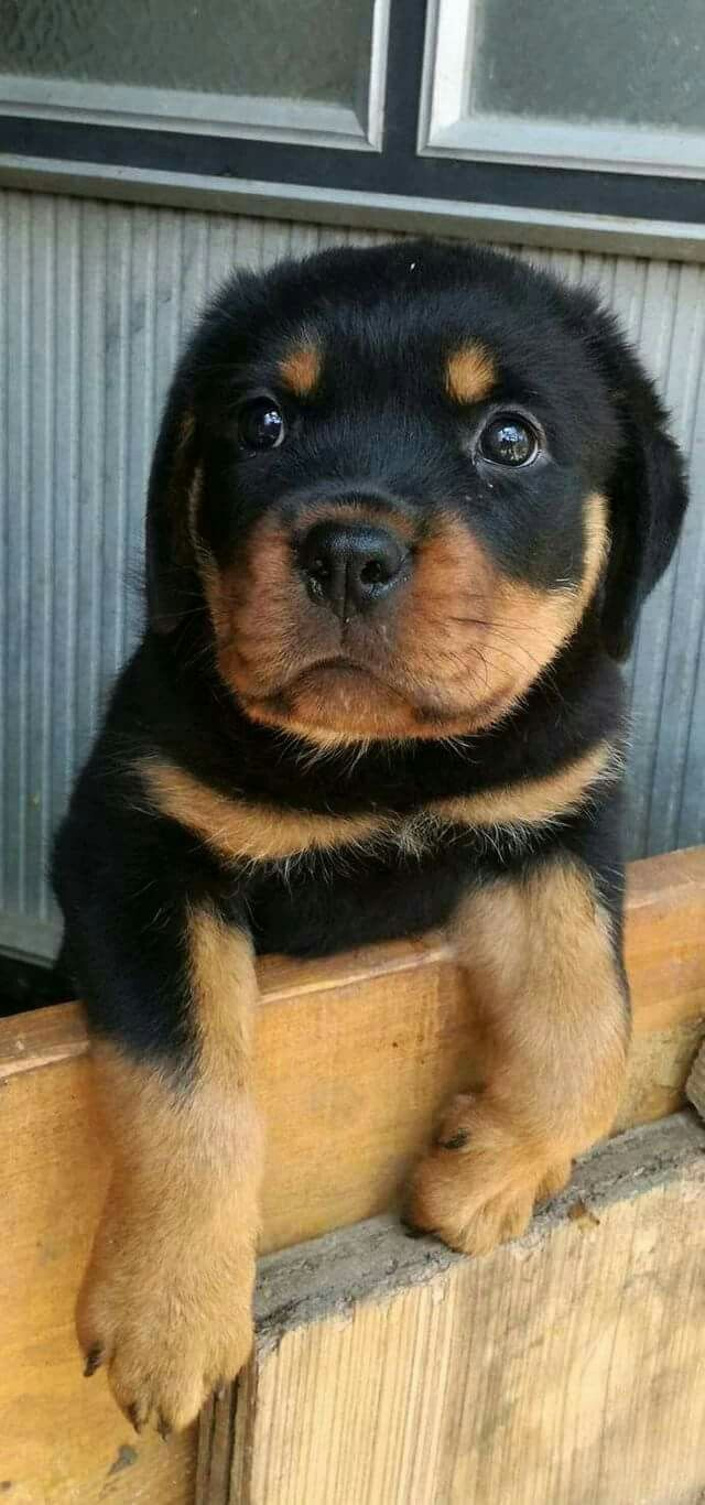 1663 best Rottweiler images on Pinterest | Rottweilers ...
