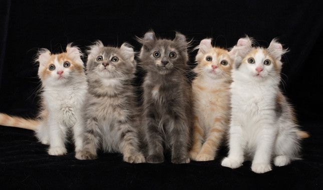 Five American Curl Kittens   The signature characteristic of the Curl is his unusual ears, which curl backward instead of standing up and coming to a point. The American Curl is a medium-size cat weighing five to 10 pounds, with an average lifespan of more than 13 years.