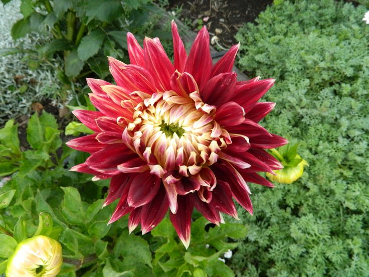 This dahlia was on a low bush and the flowers where humongus