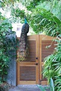 Peacock hanging out in Coconut Grove.