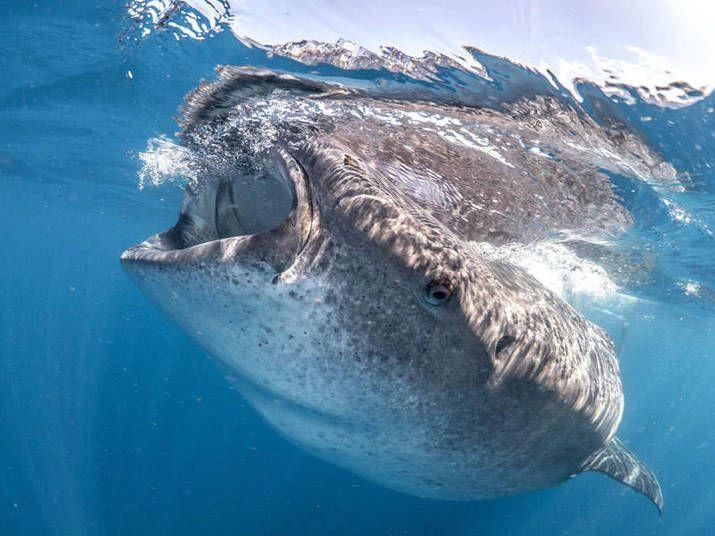 Considerado o maior peixe já encontrado, o tubarão-baleia é algo de pesquisas de Pierce