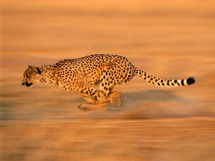 Cheetah Run Jpg 989 742 Cheetah Pictures Animals Cat Pics