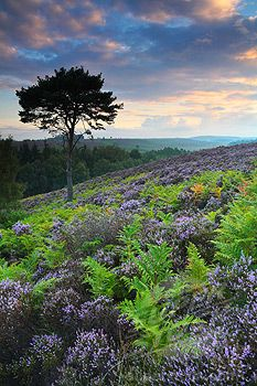 New Forest, England, the flower is heather, it grows all over there, it was the first time I had seen heather in the wild.