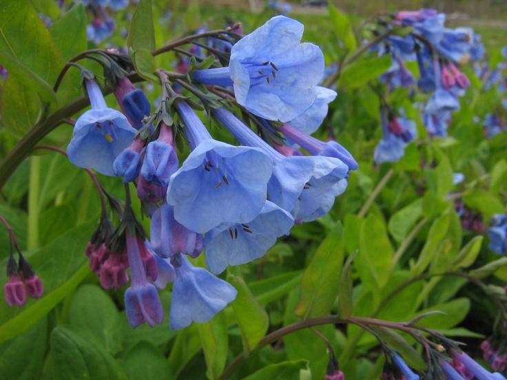Virginia Bluebells; Mertensia!!!! Wildflower Farm woodland walkway wonders!!
