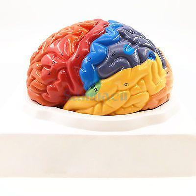 2 Part Color Human Brain Function Domain Anatomy Anatomical Model Medical Artificial Cerebral Cortex Teaching