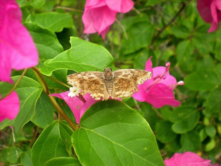 Caribbean Flowers: 228 Best Images About Tropical Caribbean Flowers, Plants