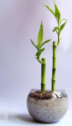 Bambú de la suerte ¿Por qué es bueno tener uno en casa?