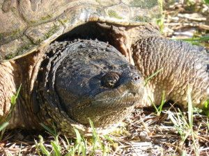 An event where contestants harass snapping turtles for entertainment has been cancelled. People would wrench their heads out of their necks and toss the terrified creatures around. Sign the petition to praise the cancellation of this event.