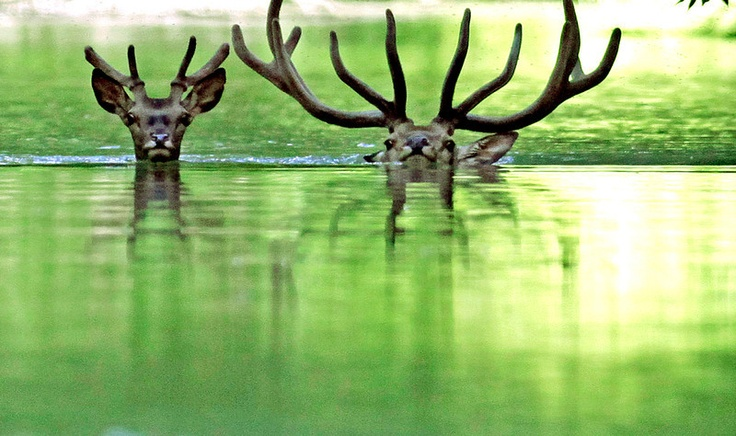 Story with a happy ending. Fleeing from the short-lived floods back in June 2013, deer swam in the floodwaters of the Danube river to look for shelter at the Gemenc Forest, about 170 km south from Hungarian capital Budapest. The forestry comission formed a cordon to drive them and hundreds more into an area containg higher ground sure to stay dry.