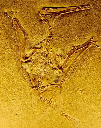 """Pterodactyl Fossil """"Pterodactyl  From the Naturhistorisches Museum in Bern, Switzerland"""""""