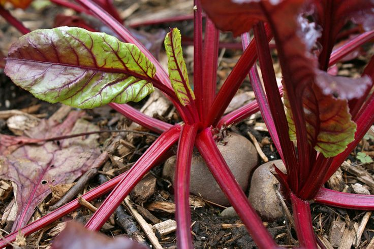 Bulls Blood Heirloom Red Beet Plants should be included in your fall vegetable gardening line-up.  These beets, when harvested young, are at their sweetest.  The colorful greens make a beautiful addition to salads or casseroles.  Find them here: