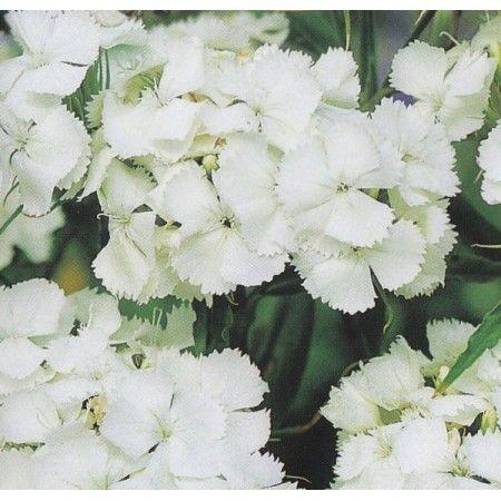 Dianthus barbatus 'White', Studenternellike