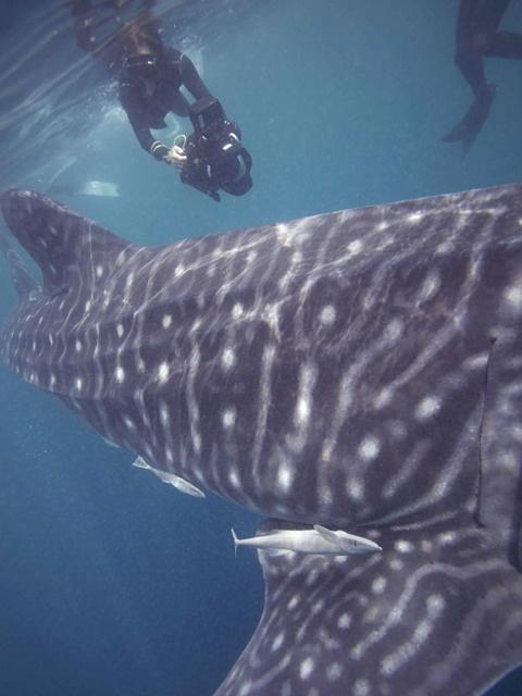 A whale shark near the Al Shaheen oil field, 150 kilometres north of Doha