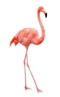 Naklejka na Ścianę Flamingo chodzenia na białym tle