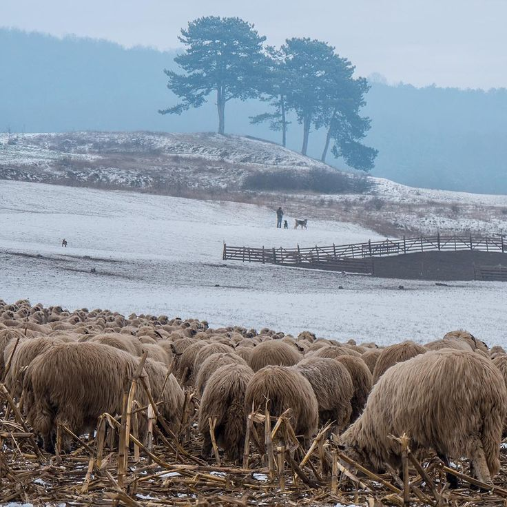 Traditional transhumance is rarely seen in western Europe (...)
