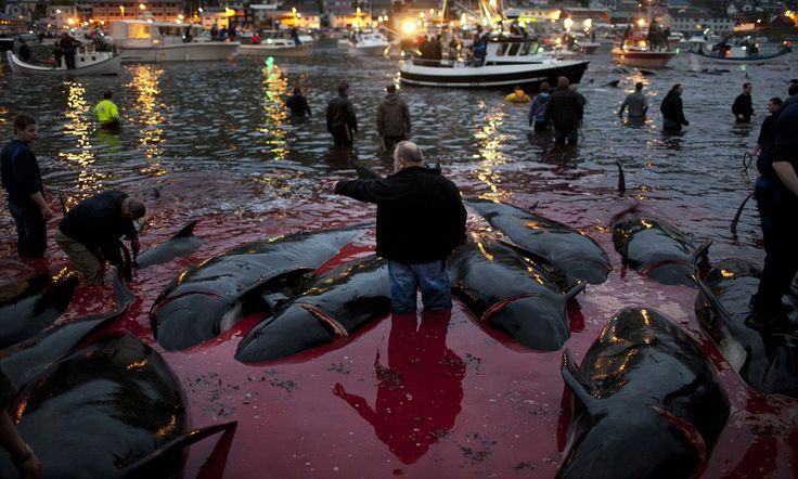 Graphic pictures show annual whale kill in the Faroe Islands