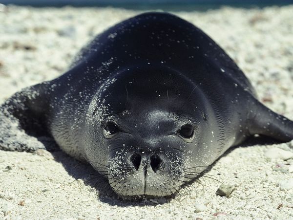 """Hawaiian Monk Seal: Known as Ilio holo I ka uaua, which means, """"dog that runs in rough water"""", only about 1200 survive."""