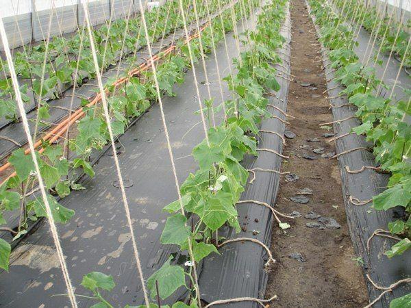 Удивительный способ выращивать огурцы без прополки