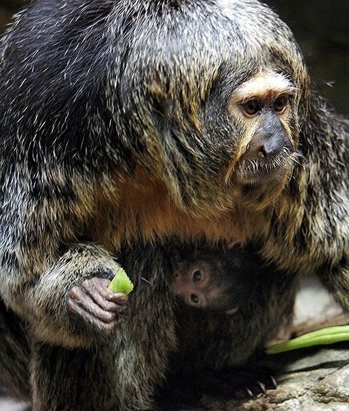 Patty the saki monkey carries her newborn baby at the Como Park Zoo in St. Paul, Minn. The baby's gender won't be known for a few weeks, so keepers have nicknamed it Green Bean — Patty has been craving them since giving birth.
