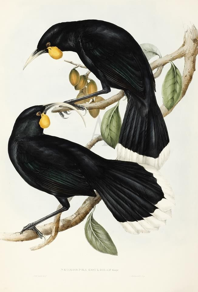 Elizabeth Gould (British painter and lithographer) 1804 - 1841 John Gould (British ornithologist and bird artist) 1804 - 1881 Henry James Richter (British engraver) 1772 - 1857 Neomorpha Gouldii [Huia], 1848 hand coloured lithograph