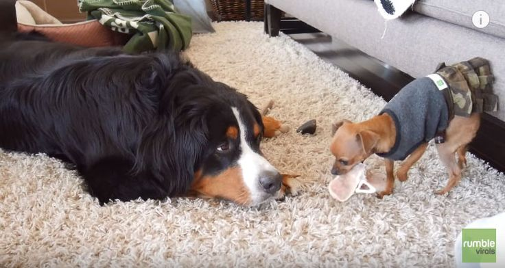Taiyo the Bernese Mountain Dog's newly adopted chihuahua siblingsare always trying to steal his bones. So how does he deals with it? Check out the video below and see Taiyo the funny Bernese Mountain dog's hilarious reaction with the idea that he has to share his bones all the time with his siblings! Just like …