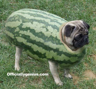 epic melon pug armor via pagu no nioi clean pug pug love dog doggie - Pugs Halloween Costumes