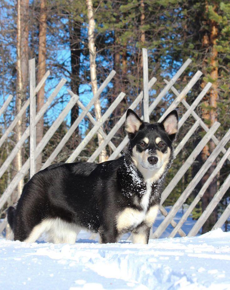 Suomalainen kansallisaarre. Lapinporokoira, Lapponian Herder, koira, dog