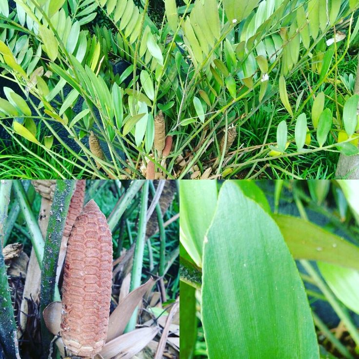 Zamia, fóssil vivo do grupo das Cycadophyta em Gimnospermas  #fossil #plantas #plant #tbt #brasil #brazil #amazing #plantoftheday #naturephotography #linda #bio #botany #botanico #botanica #nature #natureza