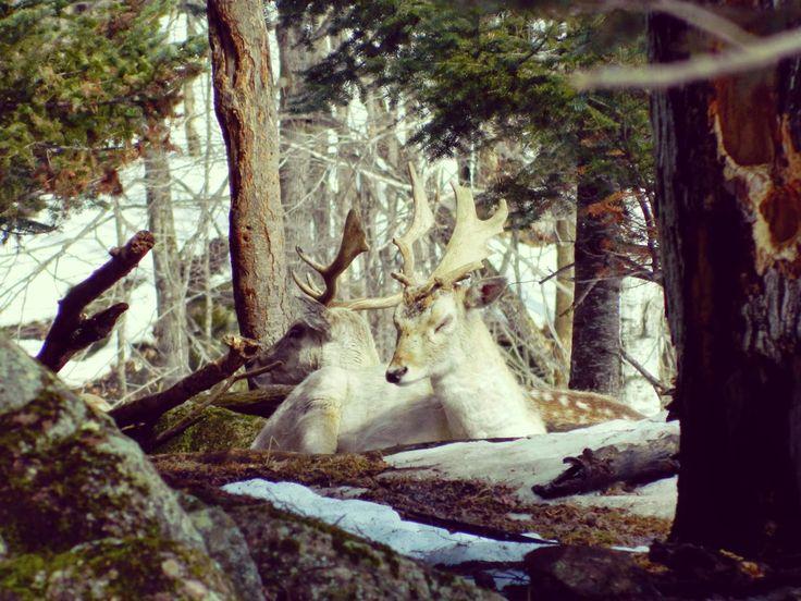 Au pays des Caribous... Le Parc Oméga (Québec)