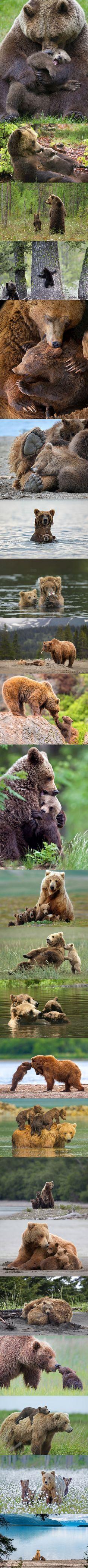 Maman ours grizzli et ses petits