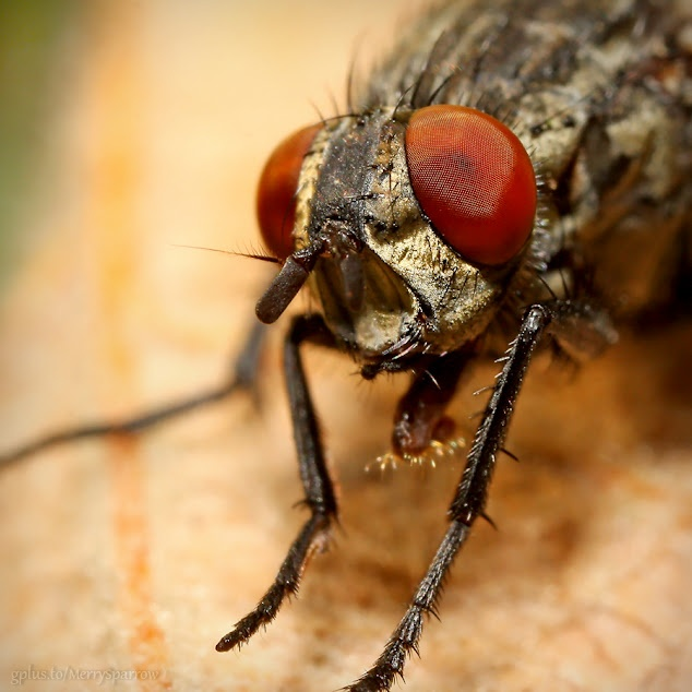 Musca / Fly