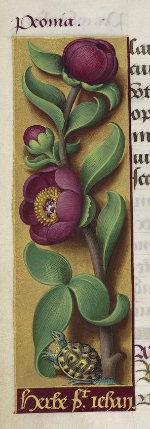 Peonies, from the Hours of Anne of Brittany illuminated by Jean Bourdichon, 1503-1506. Paris, Bibliothèque Nationale, ms. Latin 9474, f. 118v (detail).