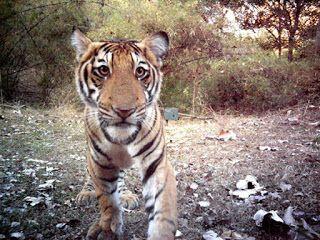 El caballero oscuro: El tigre...