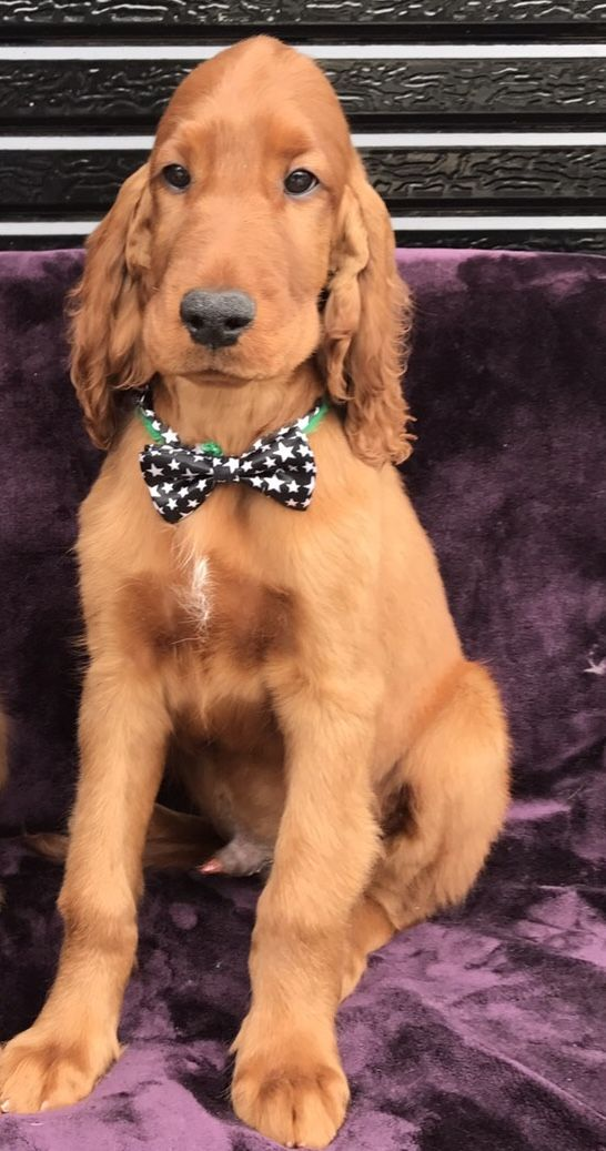 Pin By Joni Clowers On Red Irish With Images Irish Setter Dogs Spaniel Puppies English Cocker Spaniel Puppies