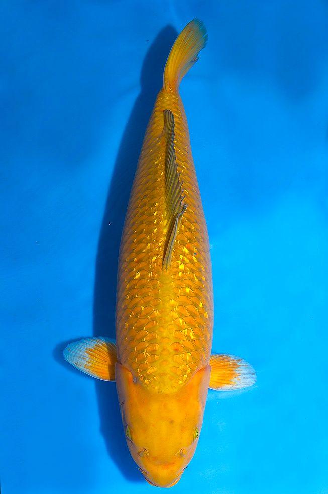 12 best nishikigoi variety chagoi images on pinterest for Koi und goldfisch