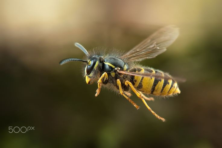 Gemeine Wespe (Vespula vulgaris) - W.Korazija Germany Wasp in the Forest