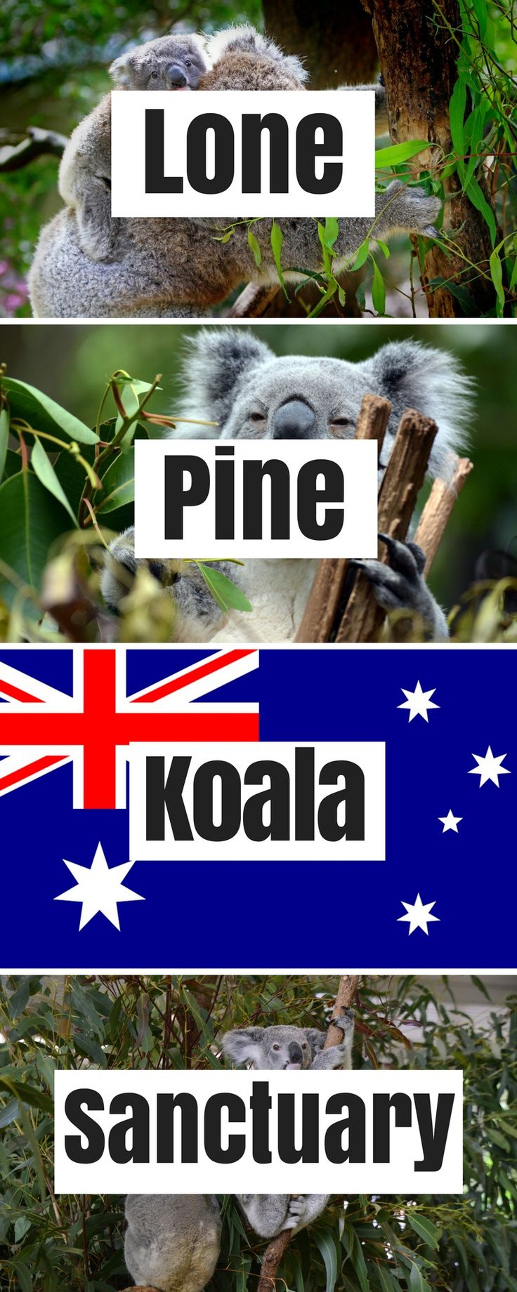 Australia Travel: Lone Pine Koala Sanctuary near Brisbane, Queensland. One of the few places where you can hold a koala and take a photo. Other Australian wildlife (e.g. kangaroos) can be seen as well.