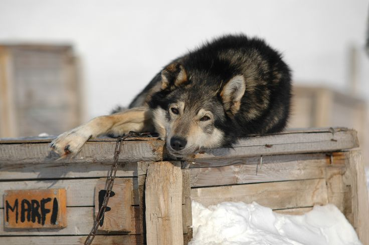 Meet our 80 alaskan huskies at Trapper's Station