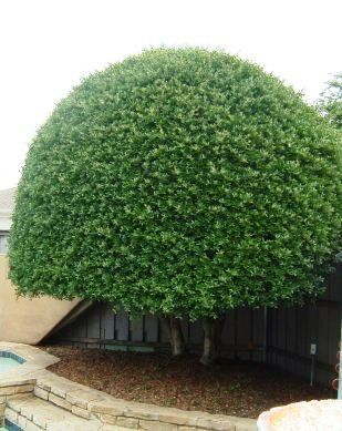 yaupon holly bush formed into a dome neighbor what neighbor another - Holly Plant